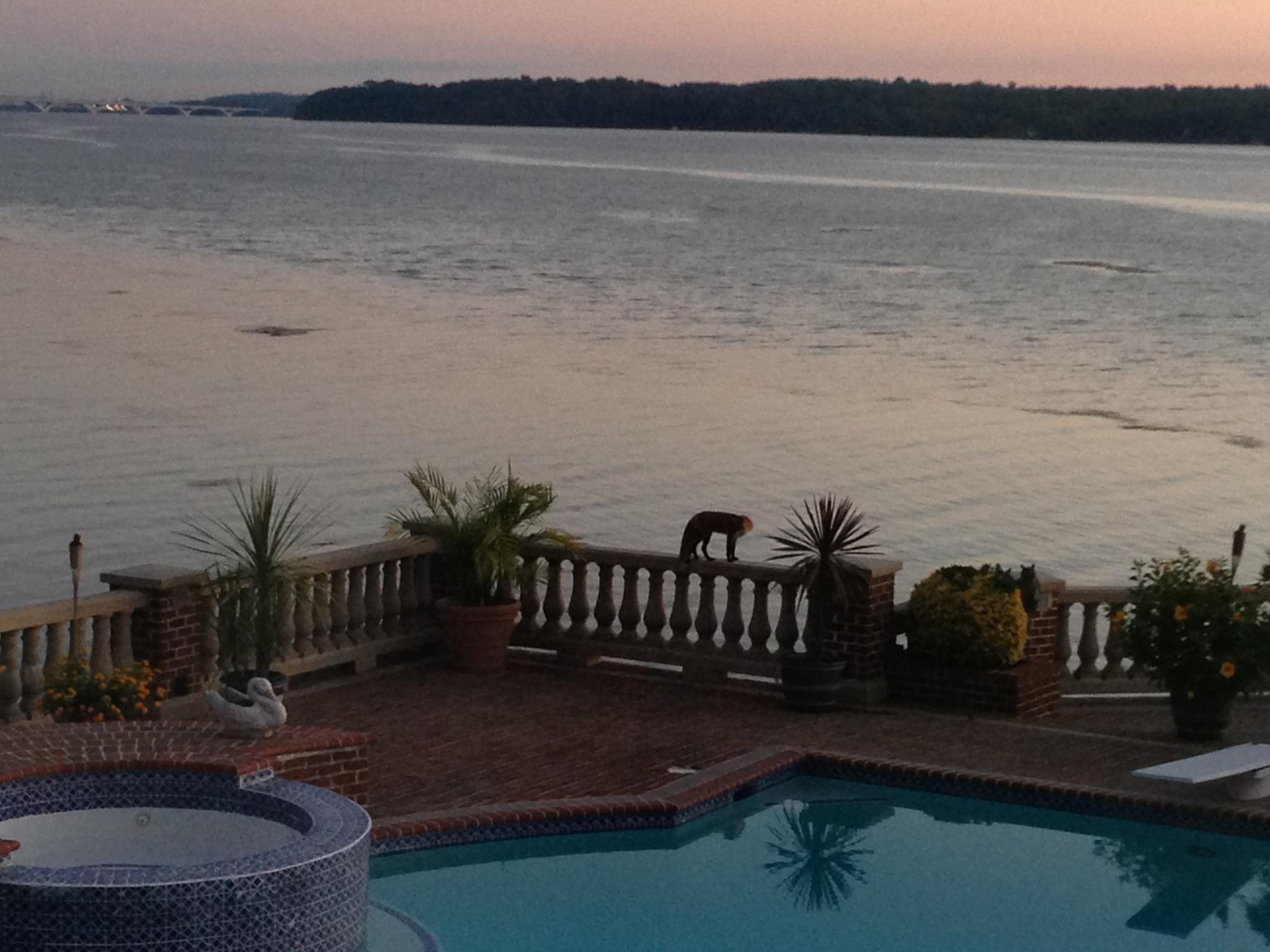 Chris Sendi - Puppy wolf by the pool